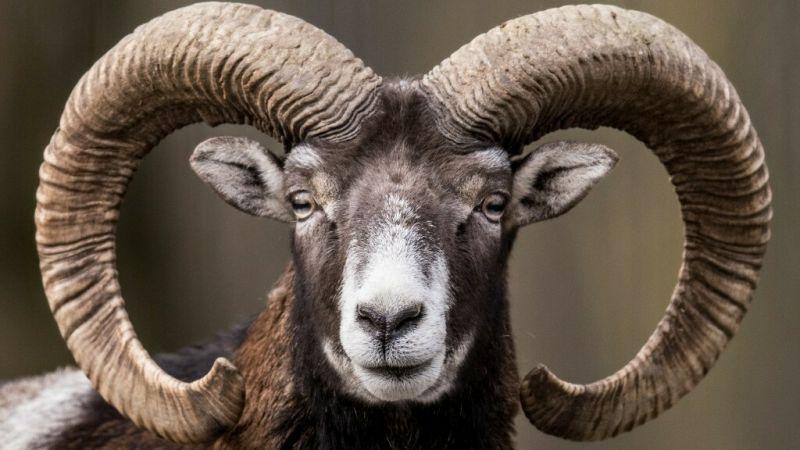 RTL:  9 Muffele goufe bei privater Juegd am Februar geschoss
